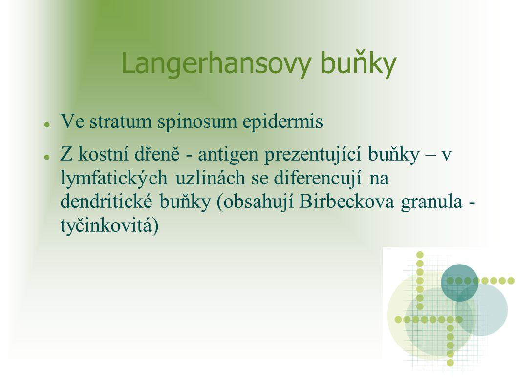 Langerhansovy buňky Ve stratum spinosum epidermis Z kostní dřeně - antigen prezentující buňky – v lymfatických uzlinách se diferencují na dendritické