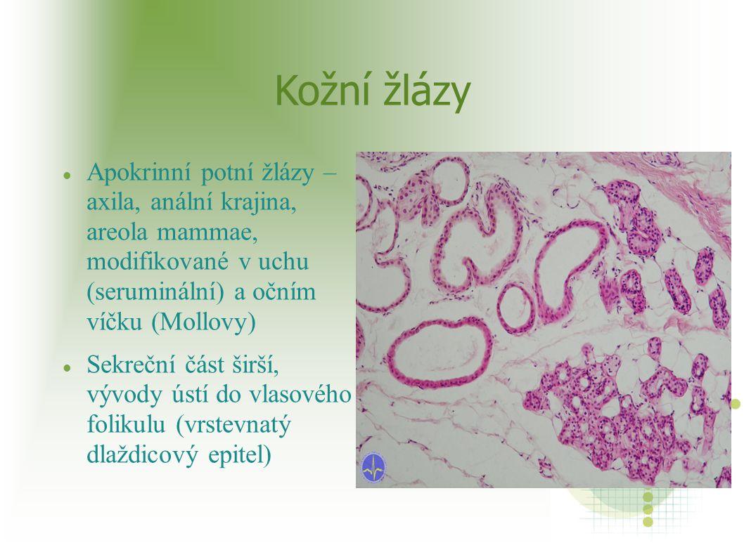 Kožní žlázy Apokrinní potní žlázy – axila, anální krajina, areola mammae, modifikované v uchu (seruminální) a očním víčku (Mollovy) Sekreční část širš