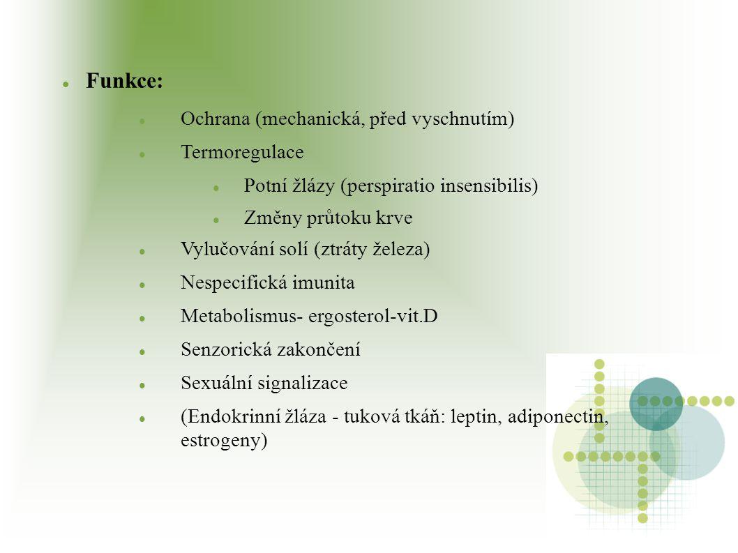 Epidermis Vrstevnatý dlaždicový epitel rohovějící + melanocyty, Langerhansovy buňky, Merkelovy buňky Tlustý typ: dlaně a chodidla Tenký typ: ostatní části těla