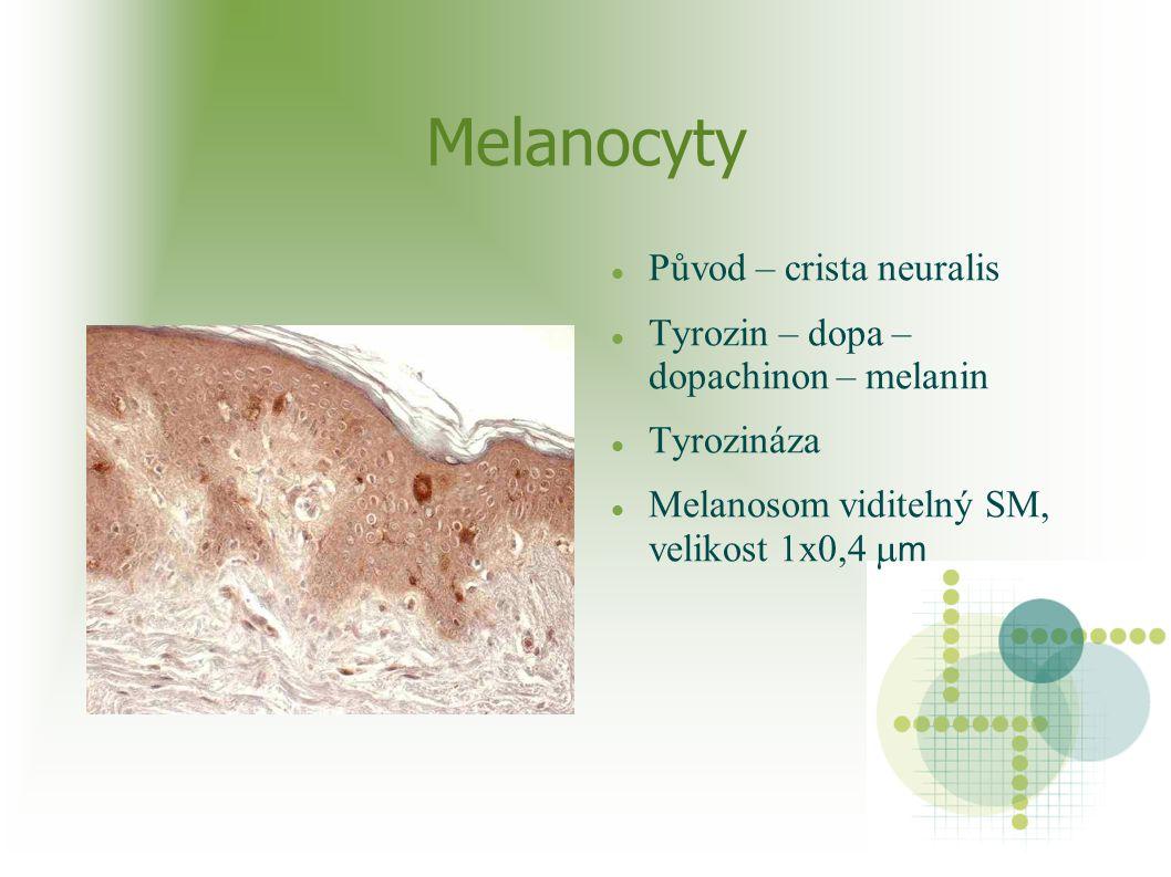 Melanocyty Cytokrinie – melanosomy injikovány do keratinocytů Zásoba v keratinocytech -ochrana před UV Melaninová jednotka – asi 1000/mm2 Vyšší (dvojnásobně) výskyt v pigmentovaném typu kůže (scrotum, cirkumanální krajina, areola mammae)