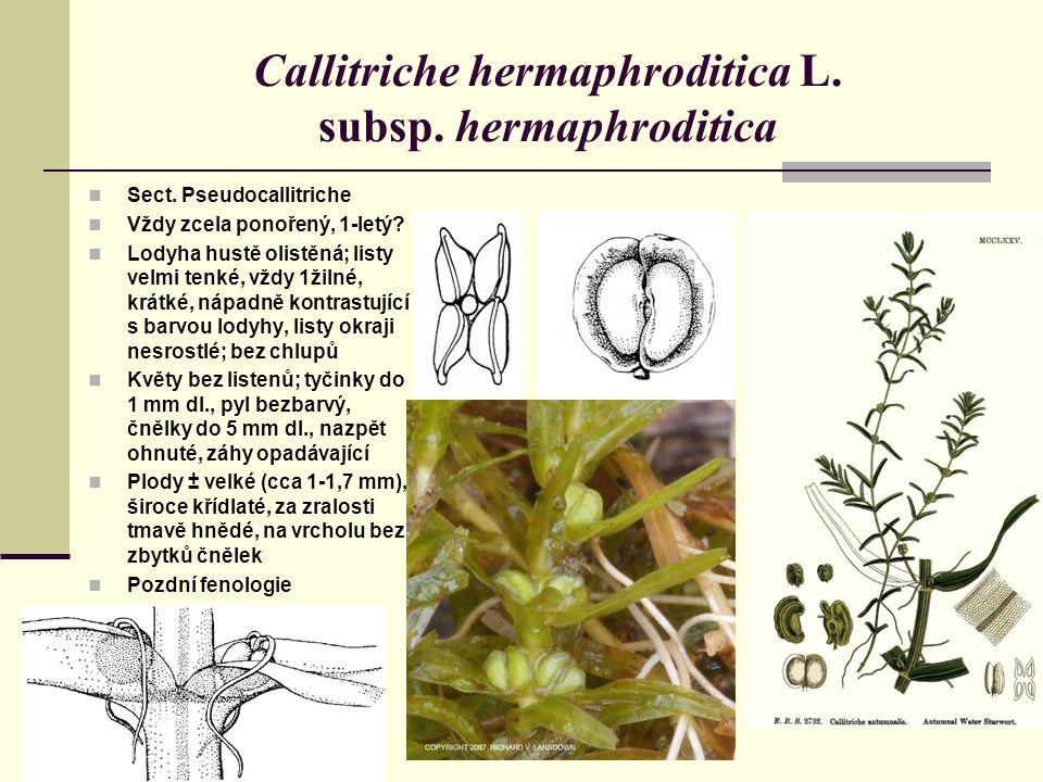 Callitriche hermaphroditica L. subsp. hermaphroditica Sect. Pseudocallitriche Vždy zcela ponořený, 1-letý? Lodyha hustě olistěná; listy velmi tenké, v