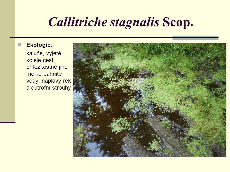 Ekologie: kaluže, vyjeté koleje cest, příležitostně jiné mělké bahnité vody, náplavy řek a eutrofní strouhy Callitriche stagnalis Scop.