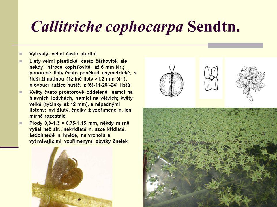 Callitriche cophocarpa Sendtn. Vytrvalý, velmi často sterilní Listy velmi plastické, často čárkovité, ale někdy i široce kopisťovité, až 6 mm šir.; po