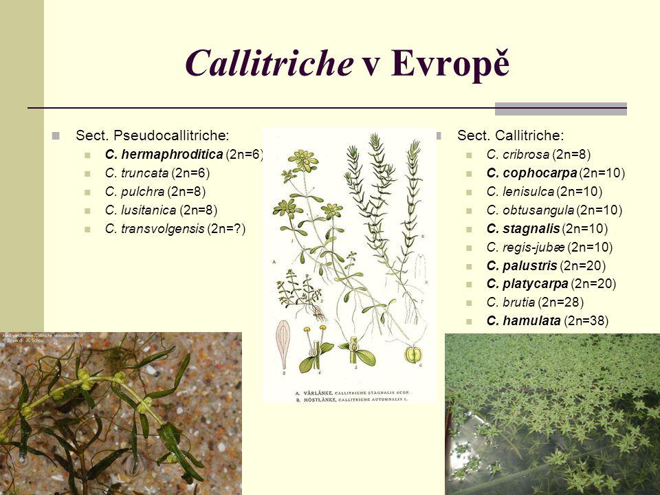 Callitriche v Evropě Sect. Pseudocallitriche: C. hermaphroditica (2n=6) C. truncata (2n=6) C. pulchra (2n=8) C. lusitanica (2n=8) C. transvolgensis (2