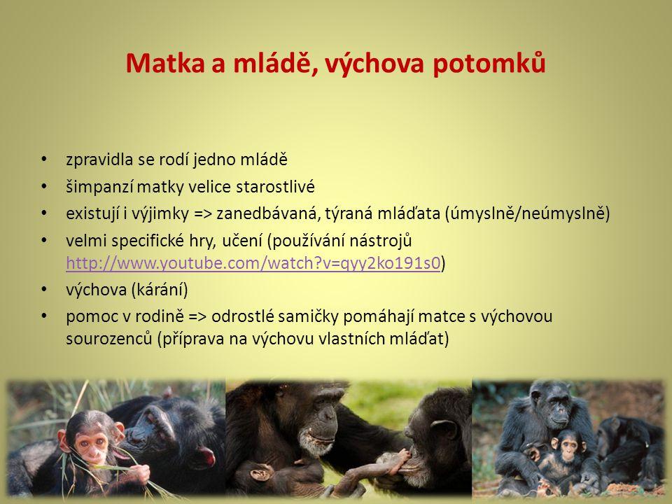 Matka a mládě, výchova potomků zpravidla se rodí jedno mládě šimpanzí matky velice starostlivé existují i výjimky => zanedbávaná, týraná mláďata (úmyslně/neúmyslně) velmi specifické hry, učení (používání nástrojů http://www.youtube.com/watch?v=qyy2ko191s0) http://www.youtube.com/watch?v=qyy2ko191s0 výchova (kárání) pomoc v rodině => odrostlé samičky pomáhají matce s výchovou sourozenců (příprava na výchovu vlastních mláďat)