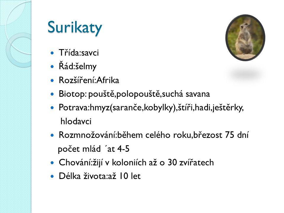 Surikaty Třída:savci Řád:šelmy Rozšíření:Afrika Biotop: pouště,polopouště,suchá savana Potrava:hmyz(saranče,kobylky),štíři,hadi,ještěrky, hlodavci Rozmnožování:během celého roku,březost 75 dní počet mlád´at 4-5 Chování:žijí v koloniích až o 30 zvířatech Délka života:až 10 let