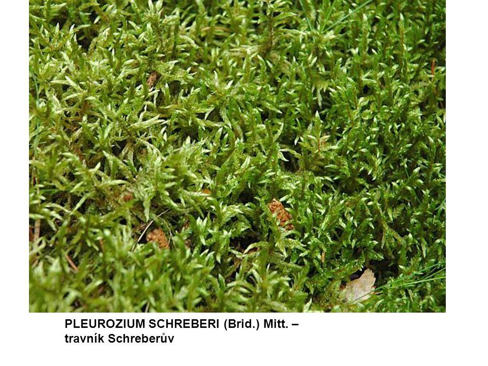 PLEUROZIUM SCHREBERI (Brid.) Mitt. – travník Schreberův