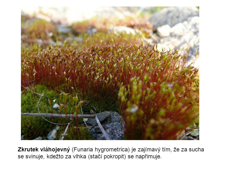 Zkrutek vláhojevný (Funaria hygrometrica) je zajímavý tím, že za sucha se svinuje, kdežto za vlhka (stačí pokropit) se napřimuje.