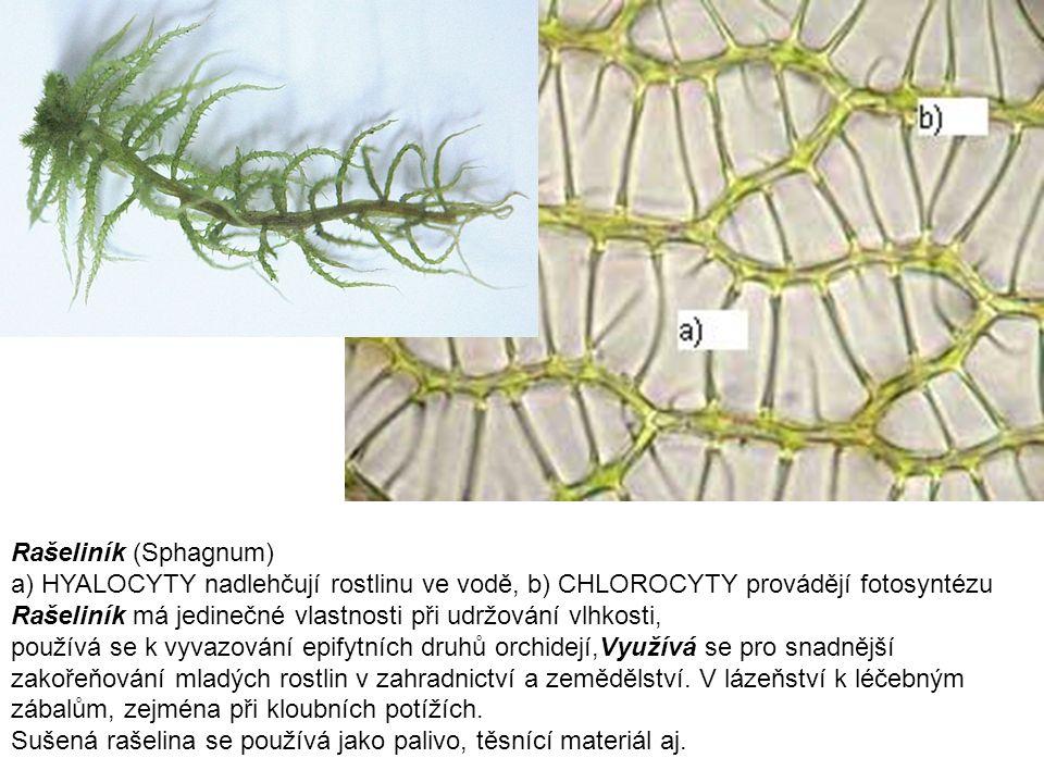 Rašeliník (Sphagnum) a) HYALOCYTY nadlehčují rostlinu ve vodě, b) CHLOROCYTY provádějí fotosyntézu Rašeliník má jedinečné vlastnosti při udržování vlh