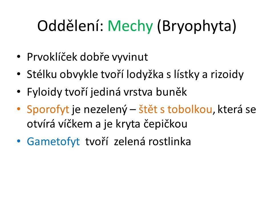 Oddělení: Mechy (Bryophyta) Prvoklíček dobře vyvinut Stélku obvykle tvoří lodyžka s lístky a rizoidy Fyloidy tvoří jediná vrstva buněk Sporofyt je nez