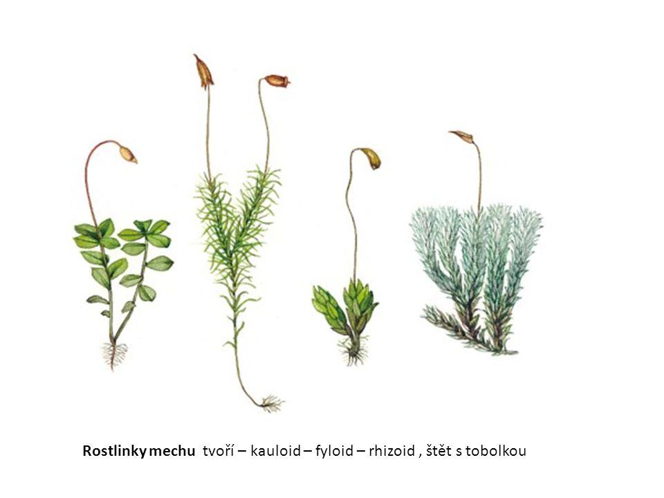 Rostlinky mechu tvoří – kauloid – fyloid – rhizoid, štět s tobolkou
