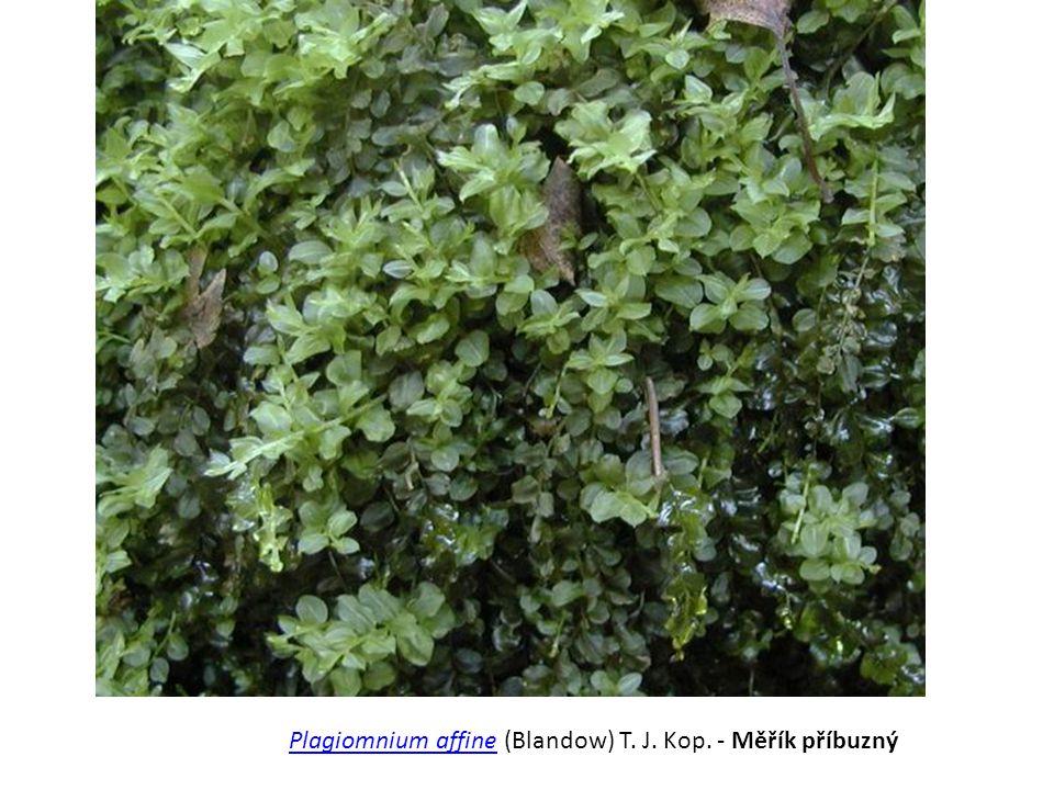 Plagiomnium affinePlagiomnium affine (Blandow) T. J. Kop. - Měřík příbuzný