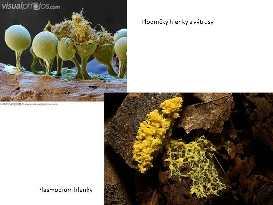 Plodničky hlenky s výtrusy Plasmodium hlenky