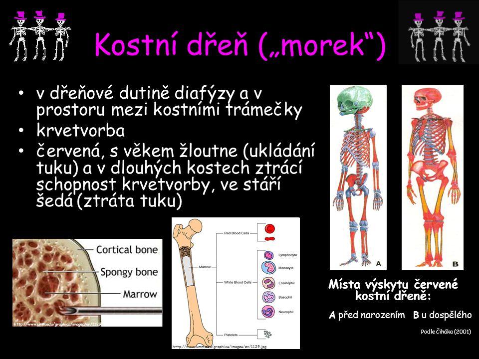 """Kostní dřeň (""""morek"""") v dřeňové dutině diafýzy a v prostoru mezi kostními trámečky krvetvorba červená, s věkem žloutne (ukládání tuku) a v dlouhých ko"""