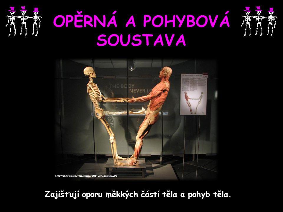OPĚRNÁ A POHYBOVÁ SOUSTAVA Zajišťují oporu měkkých částí těla a pohyb těla. http://shfwire.com/files/images/IMG_0197.preview.JPG