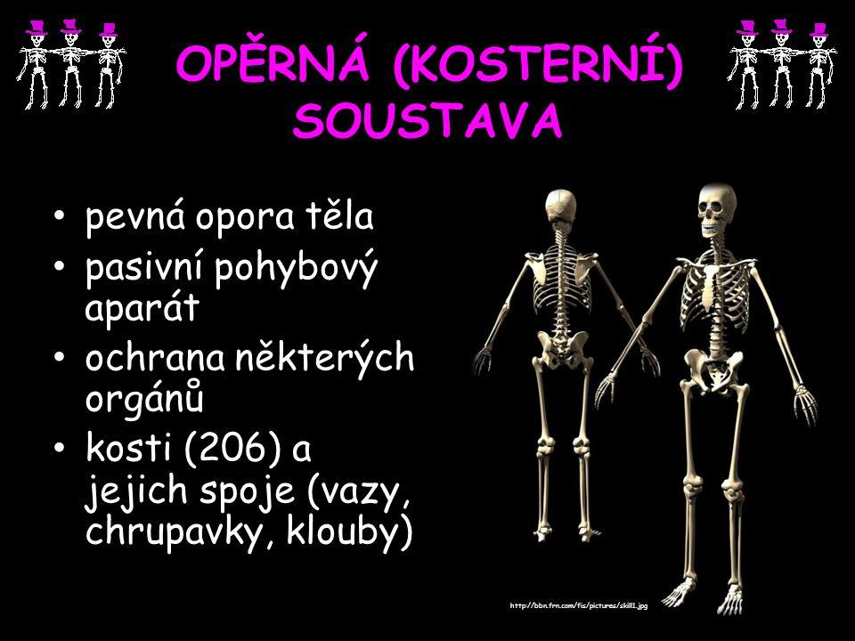OPĚRNÁ (KOSTERNÍ) SOUSTAVA pevná opora těla pasivní pohybový aparát ochrana některých orgánů kosti (206) a jejich spoje (vazy, chrupavky, klouby) http