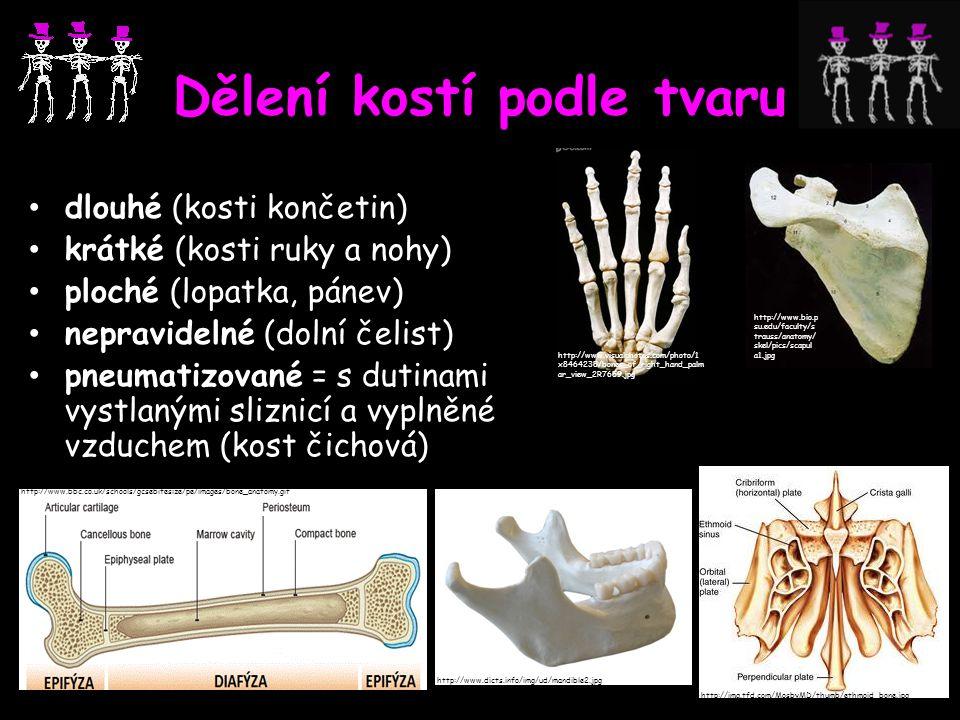 Dělení kostí podle tvaru dlouhé (kosti končetin) krátké (kosti ruky a nohy) ploché (lopatka, pánev) nepravidelné (dolní čelist) pneumatizované = s dut