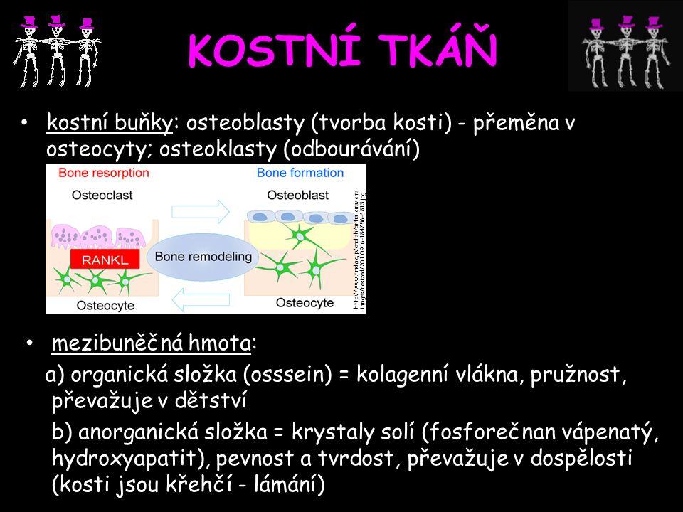 KOSTNÍ TKÁŇ kostní buňky: osteoblasty (tvorba kosti) - přeměna v osteocyty; osteoklasty (odbourávání) mezibuněčná hmota: a) organická složka (osssein)
