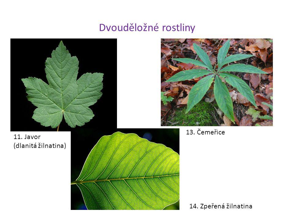 Dvouděložné rostliny 11. Javor (dlanitá žilnatina) 13. Čemeřice 14. Zpeřená žilnatina