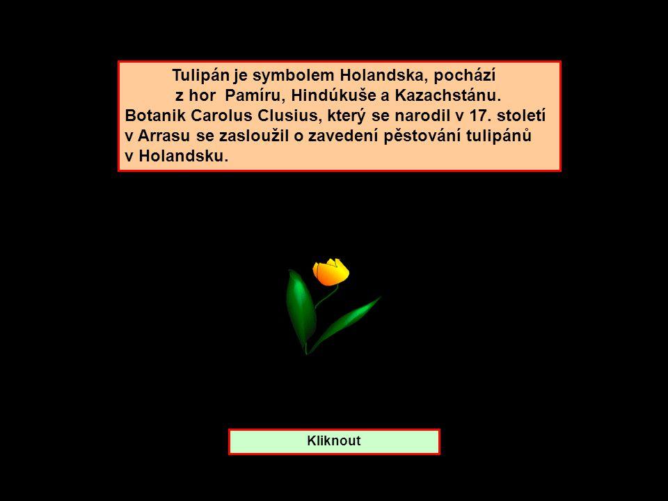 Tulipán je symbolem Holandska, pochází z hor Pamíru, Hindúkuše a Kazachstánu.