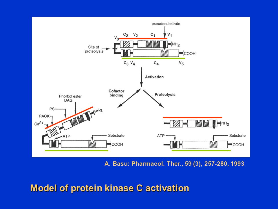 A. Basu: Pharmacol. Ther., 59 (3), , 1993 Model of protein kinase C activation