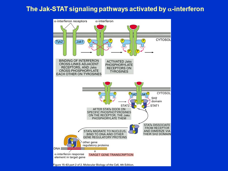 The Jak-STAT signaling pathways activated by  -interferon