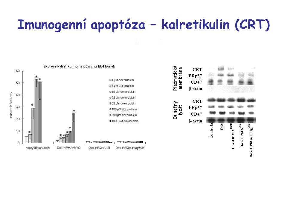 Plazmatická membrána CRT ERp57 CD47 β-actin Buněčný lyzát CRT ERp57 CD47 β-actin Kontrola Dox Dox-HPMA HYD Dox-HPMA AM Dox-HPMA-HuIg AM Imunogenní apo
