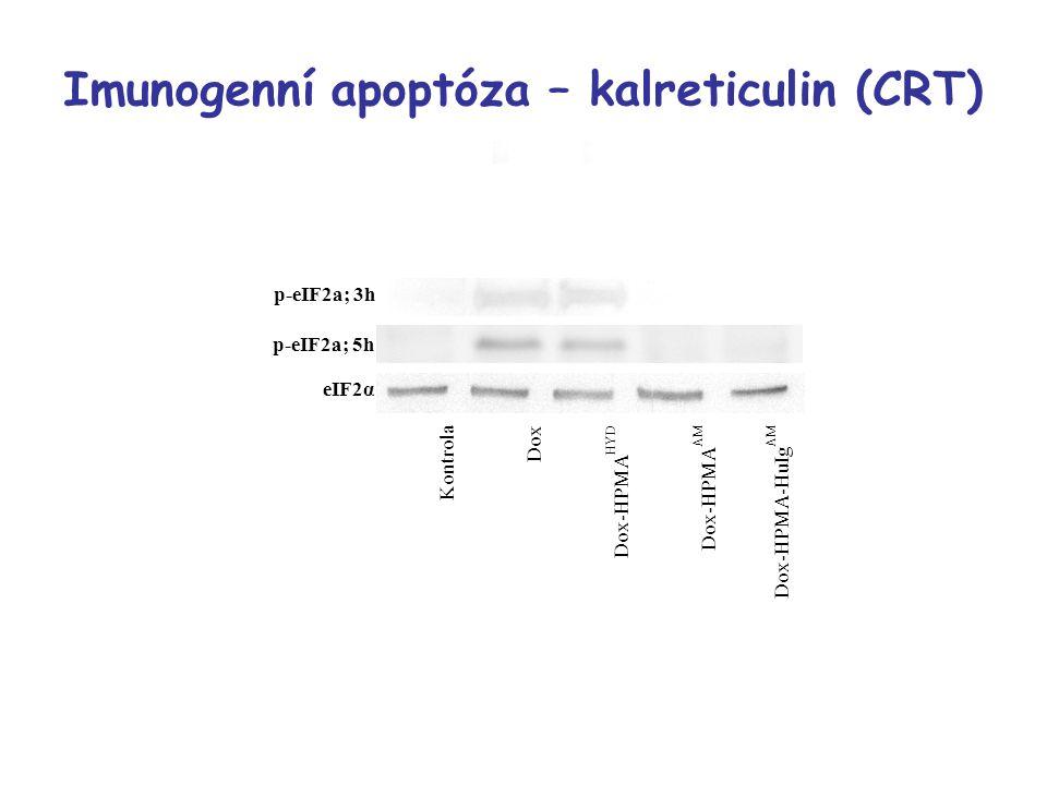 p-eIF2a; 3h p-eIF2a; 5h eIF2α Kontrola Dox Dox-HPMA HYD Dox-HPMA AM Dox-HPMA-HuIg AM Imunogenní apoptóza – kalreticulin (CRT)