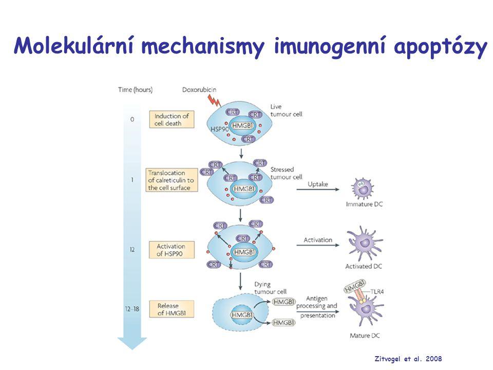 CD8 α PBS KontrolaDoxorubicin Dox-HPMA HYD Dox-HPMA AM Dox-HPMA AM -HuIg CFSE In vivo fagocytóza nádorových buněk Gated on CD11c+ dendritic cells