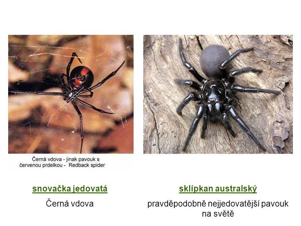 snovačka jedovatá Černá vdova sklípkan australský pravděpodobně nejjedovatější pavouk na světě