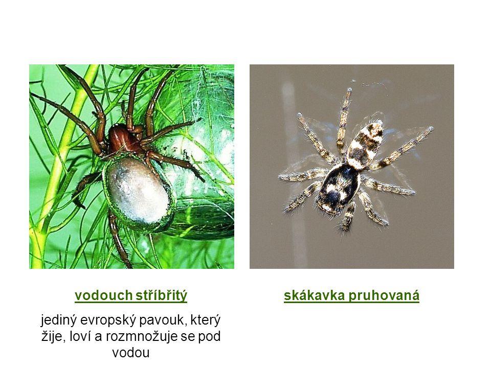 vodouch stříbřitý jediný evropský pavouk, který žije, loví a rozmnožuje se pod vodou skákavka pruhovaná