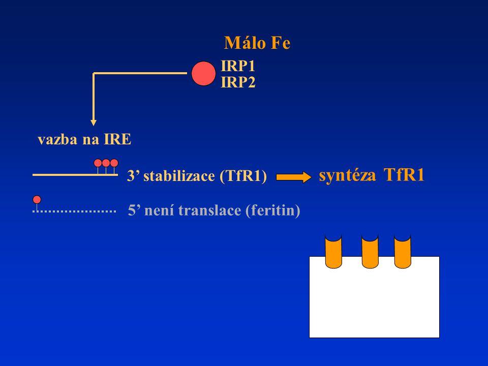 syntéza TfR1 Málo Fe 3' stabilizace (TfR1) 5' není translace (feritin) IRP1 IRP2 vazba na IRE