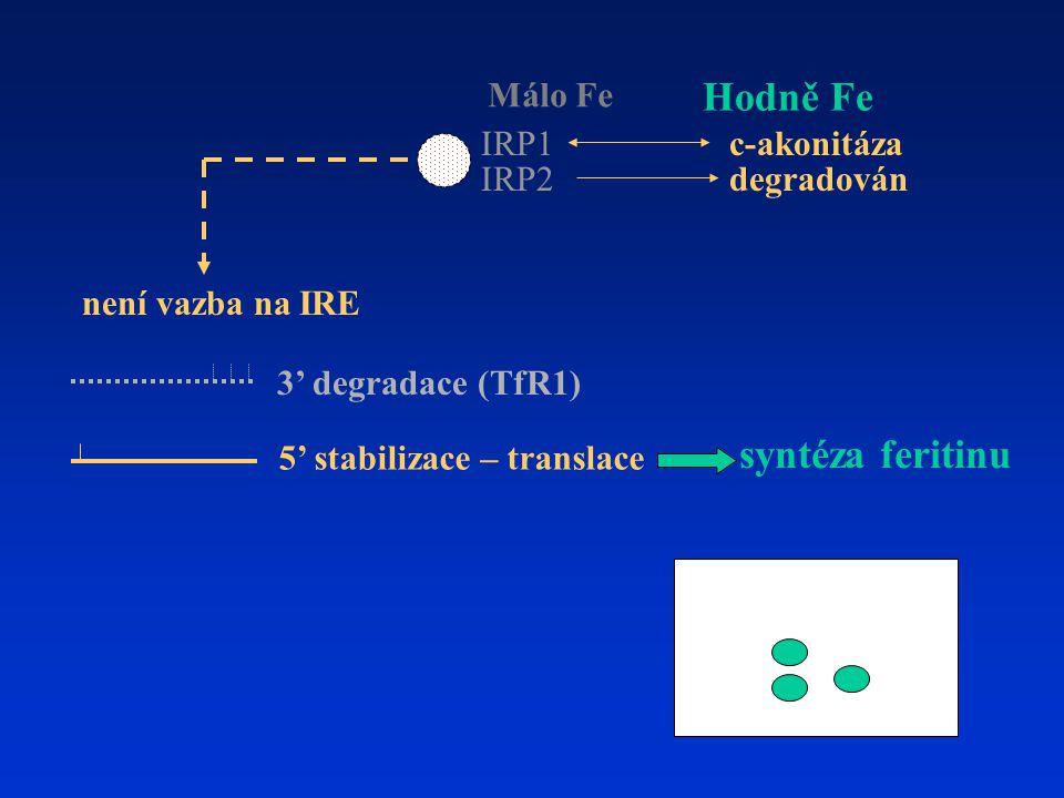 3' degradace (TfR1) 5' stabilizace – translace není vazba na IRE Hodně Fe IRP1 IRP2 Málo Fe degradován c-akonitáza syntéza feritinu