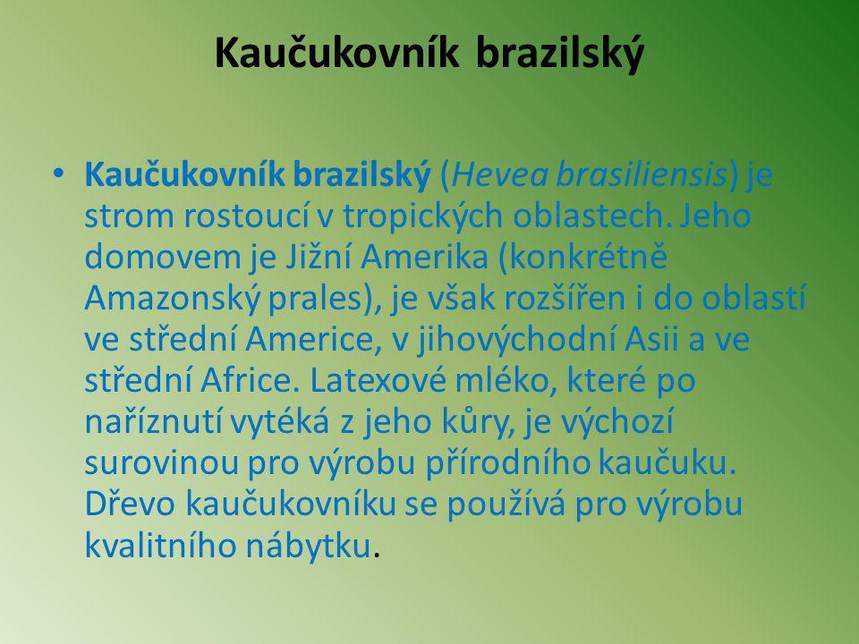 Kaučukovník brazilský Kaučukovník brazilský (Hevea brasiliensis) je strom rostoucí v tropických oblastech. Jeho domovem je Jižní Amerika (konkrétně Am