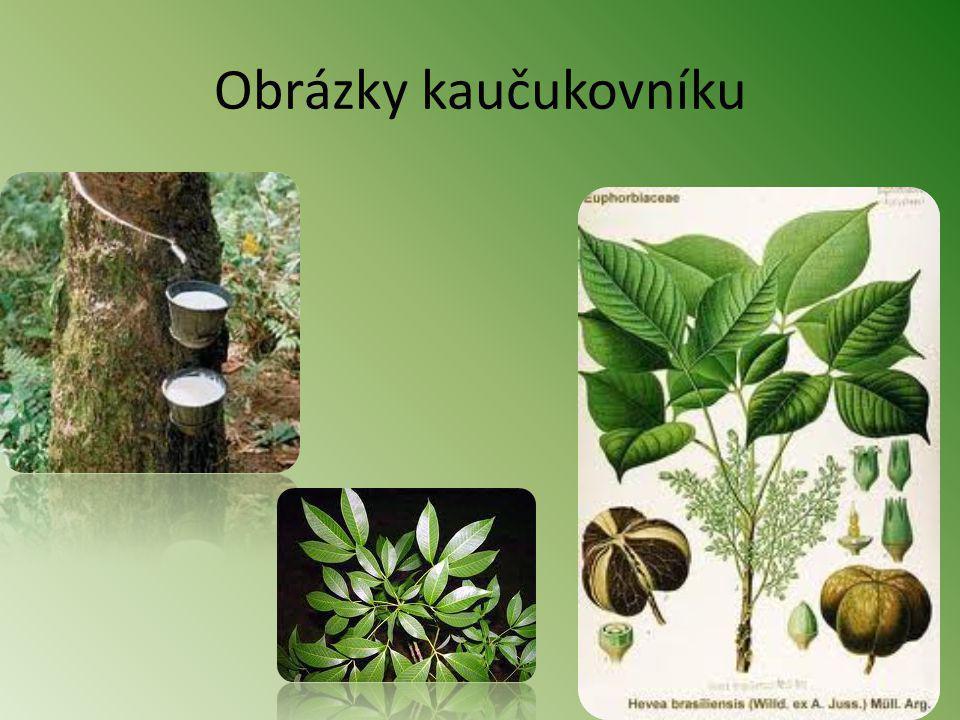Palma olejná Pochází ze západní tropické Afriky.Dorůstá až 30m výšky.
