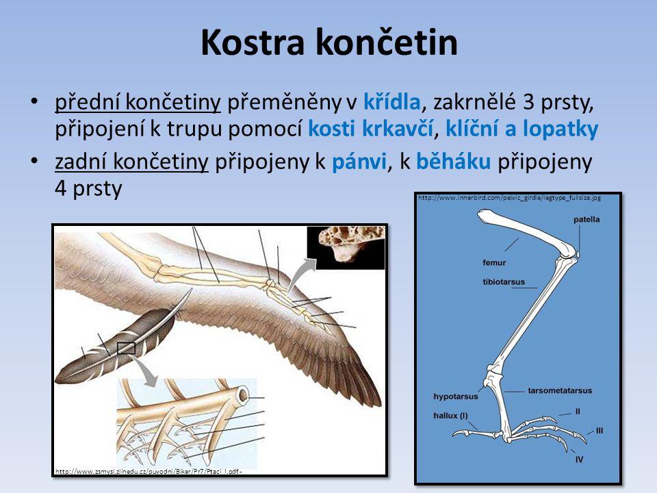 Kostra končetin přední končetiny přeměněny v křídla, zakrnělé 3 prsty, připojení k trupu pomocí kosti krkavčí, klíční a lopatky zadní končetiny připojeny k pánvi, k běháku připojeny 4 prsty http://www.zsmysl.zlinedu.cz/puvodni/Biker/Pr7/Ptaci_I.pdf - http://www.innerbird.com/pelvic_girdle/legtype_fullsize.jpg