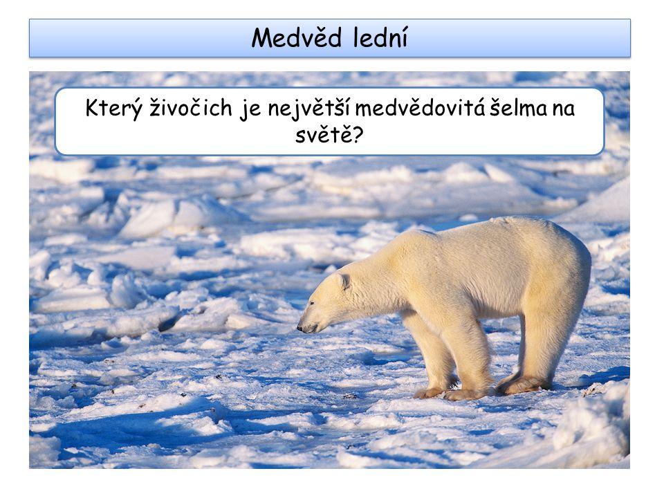 Medvěd lední Který živočich je největší medvědovitá šelma na světě?