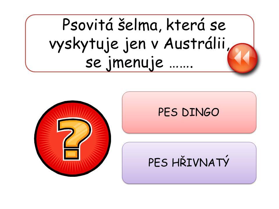 Psovitá šelma, která se vyskytuje jen v Austrálii, se jmenuje ……. PES DINGO PES HŘIVNATÝ