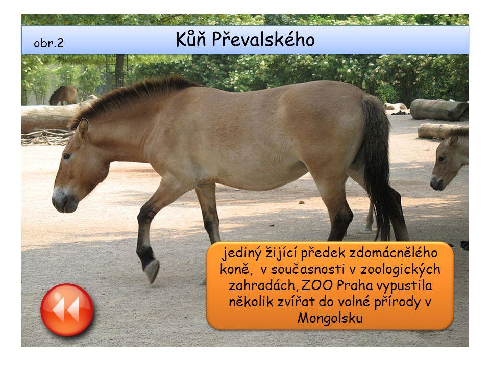 Kůň Převalského jediný žijící předek zdomácnělého koně, v současnosti v zoologických zahradách, ZOO Praha vypustila několik zvířat do volné přírody v