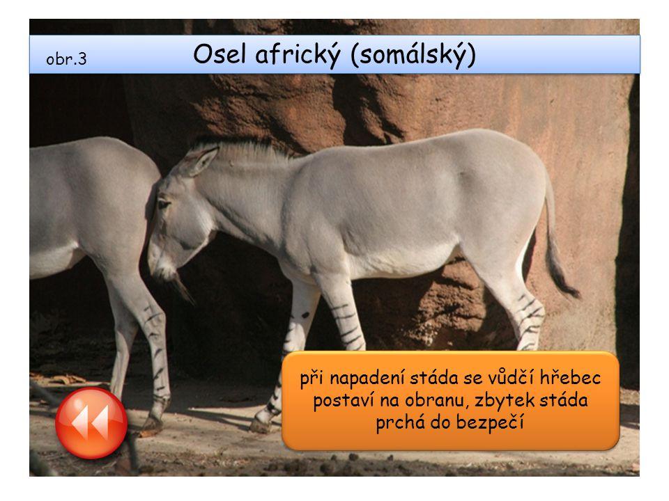 Osel africký (somálský) při napadení stáda se vůdčí hřebec postaví na obranu, zbytek stáda prchá do bezpečí obr.3