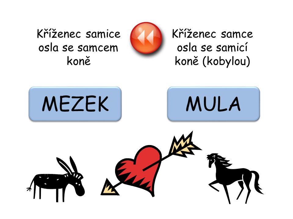 Kříženec samce osla se samicí koně (kobylou) Kříženec samice osla se samcem koně MULA MEZEK