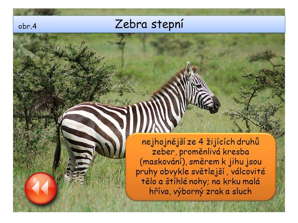 Zebra stepní nejhojnější ze 4 žijících druhů zeber, proměnlivá kresba (maskování), směrem k jihu jsou pruhy obvykle světlejší, válcovité tělo a štíhlé