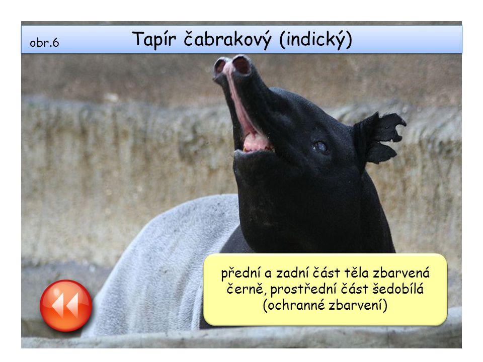 Tapír čabrakový (indický) přední a zadní část těla zbarvená černě, prostřední část šedobílá (ochranné zbarvení) obr.6