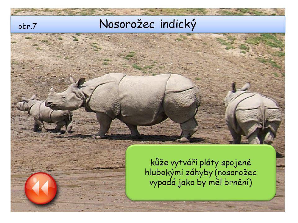 Nosorožec indický kůže vytváří pláty spojené hlubokými záhyby (nosorožec vypadá jako by měl brnění) obr.7