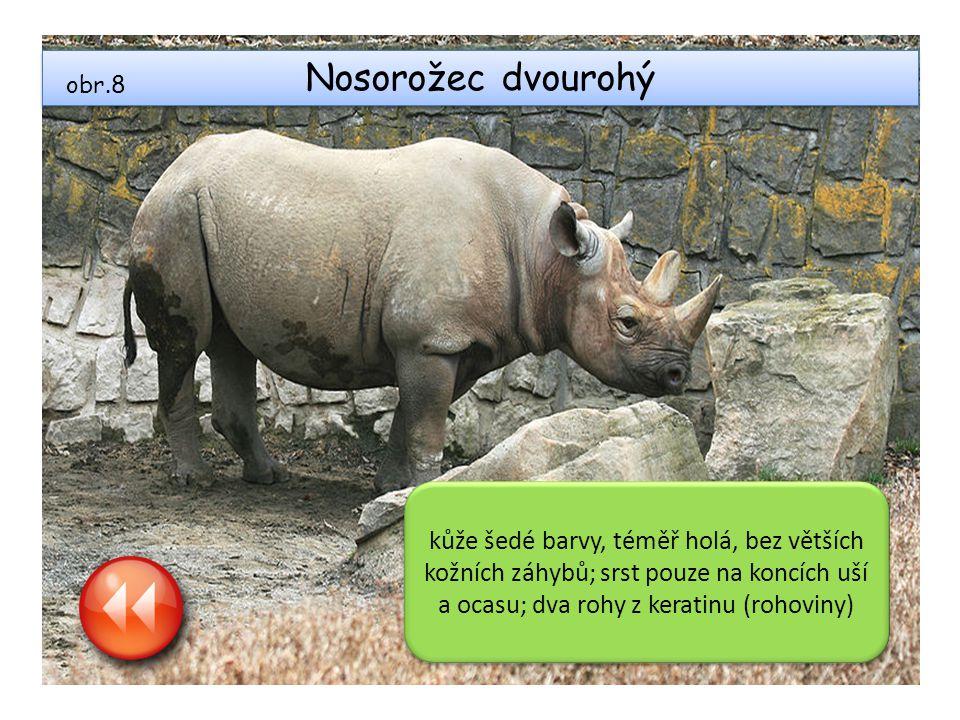 Nosorožec dvourohý kůže šedé barvy, téměř holá, bez větších kožních záhybů; srst pouze na koncích uší a ocasu; dva rohy z keratinu (rohoviny) obr.8