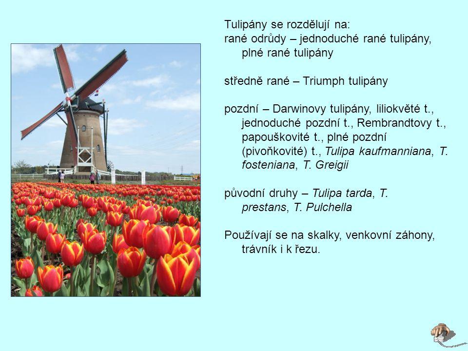 Tulipány se rozdělují na: rané odrůdy – jednoduché rané tulipány, plné rané tulipány středně rané – Triumph tulipány pozdní – Darwinovy tulipány, liliokvěté t., jednoduché pozdní t., Rembrandtovy t., papouškovité t., plné pozdní (pivoňkovité) t., Tulipa kaufmanniana, T.