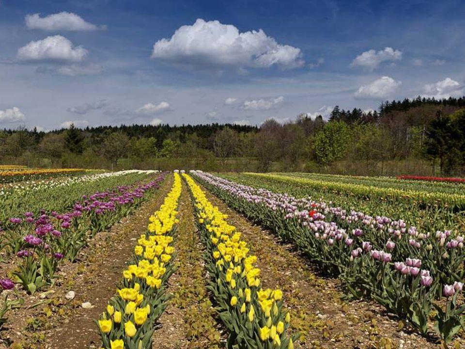 Tulipány se rozdělují na: rané odrůdy – jednoduché rané tulipány, plné rané tulipány středně rané – Triumph tulipány pozdní – Darwinovy tulipány, lili