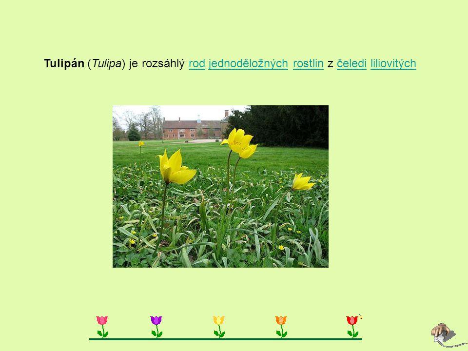 Tulipán (Tulipa) je rozsáhlý rod jednoděložných rostlin z čeledi liliovitých rodjednoděložnýchrostlinčeledililiovitých