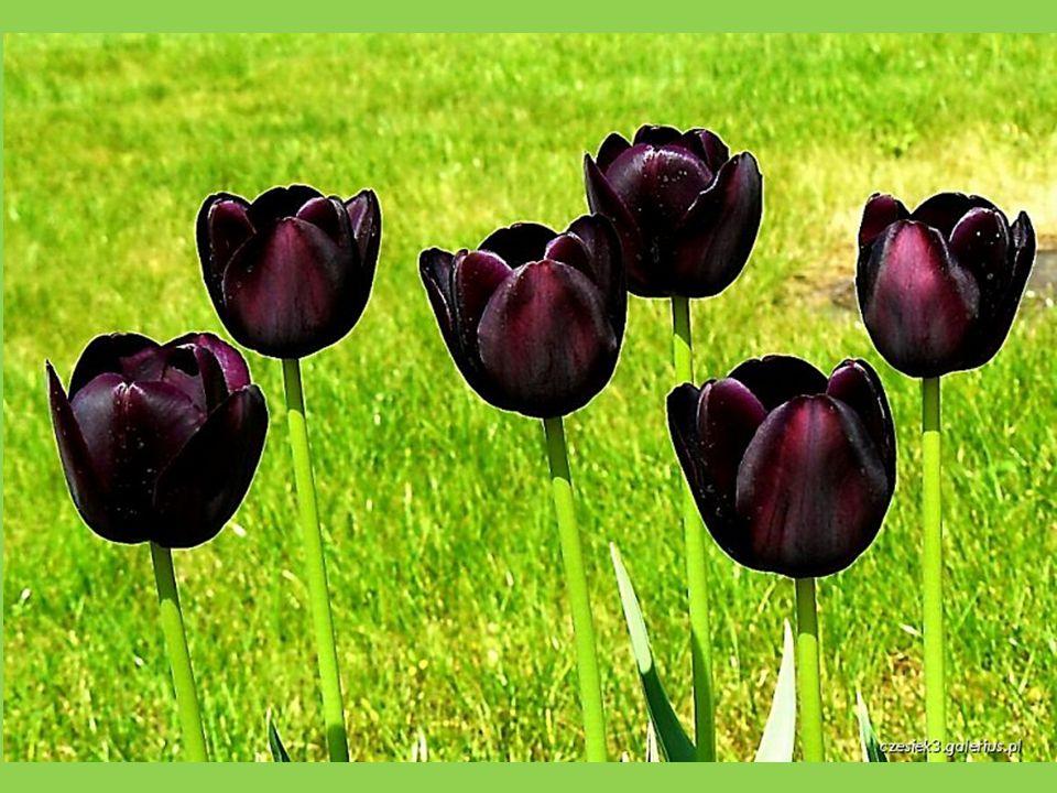 """Roku 1673 se v Haarlemu vypěstoval """"černý tulipán"""", se sytým indigo- fialovým odstínem"""