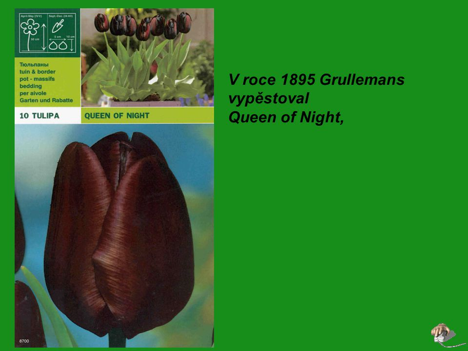 V roce 1895 Grullemans vypěstoval Queen of Night,
